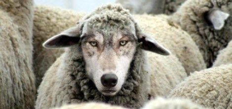 sheep-wolf-520x245